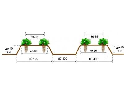 Технология выращивания ягоды земляники садовой
